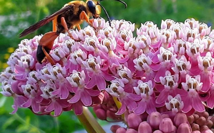 J Ricker asclepias-pollinators